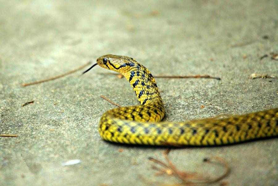 毒蛇 (2).jpg